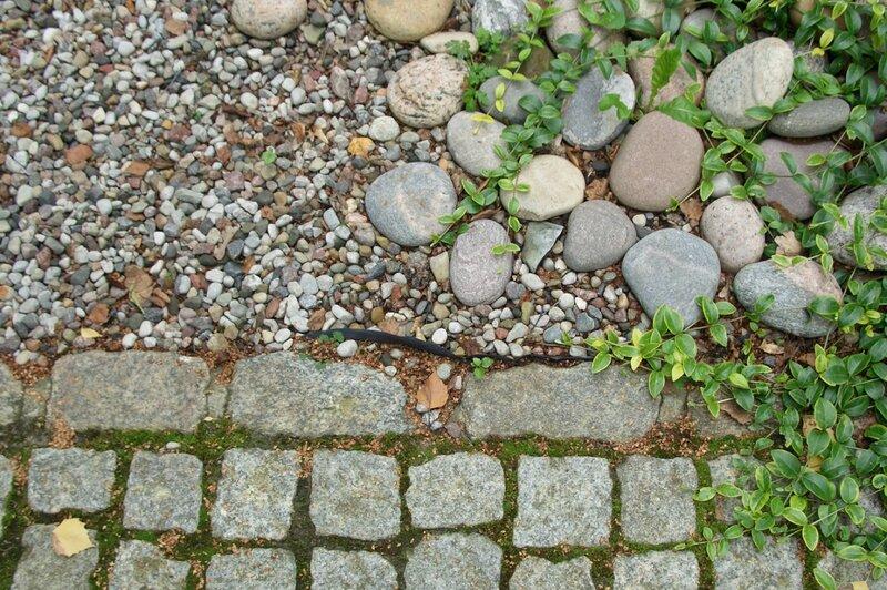 Барвинок может расти даже в камнях