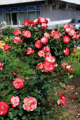 Роза джубили де принц монако