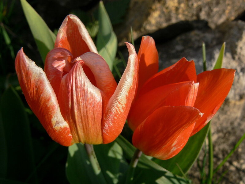 фото Майские тюльпаны