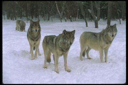 Стратегия против волков