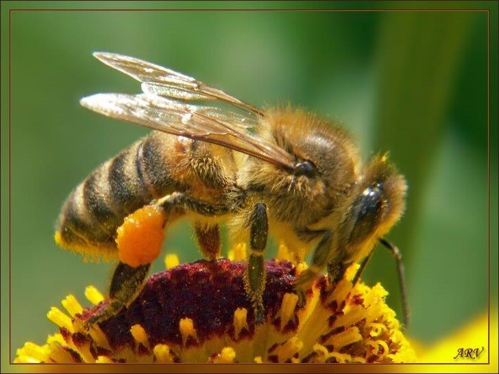 2004-08-22 12-23 Пчела с обножкой