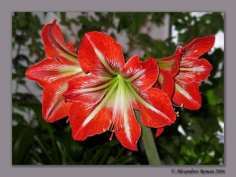 Амариллис. готов.  На фото выше вы видите пример живого цветка, который мы сделали из бисера.