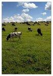 Windows по-коровьи