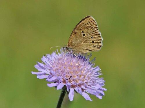 Глазок цветочный (Aphantopus hyperantus) на Короставнике полевом (Knautia arvensis) Автор фото: Владимир Брюхов