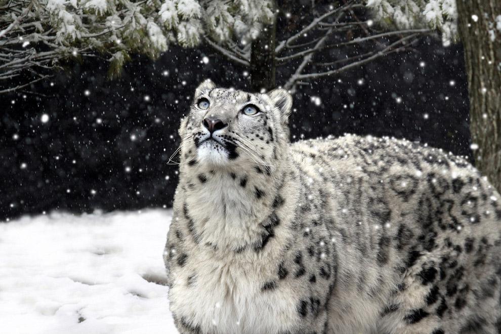 13. 23 октября – международный день снежного барса.
