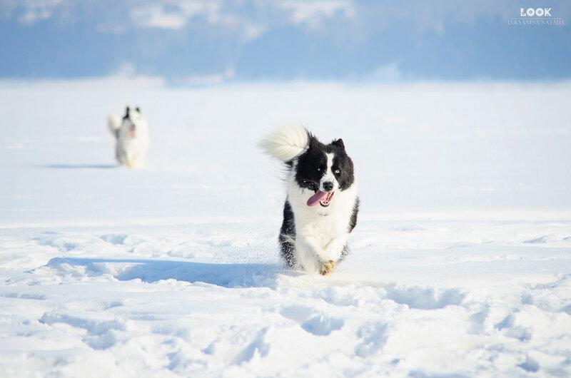 Мои собаки: Зена и Шива и их друзья весты - Страница 9 0_a838a_9661ad2a_XL