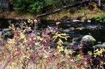 Осень на Свят реке. Шиповник.