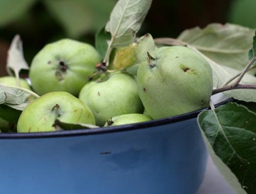 для плодоножка у яблока фото при всех недостатках