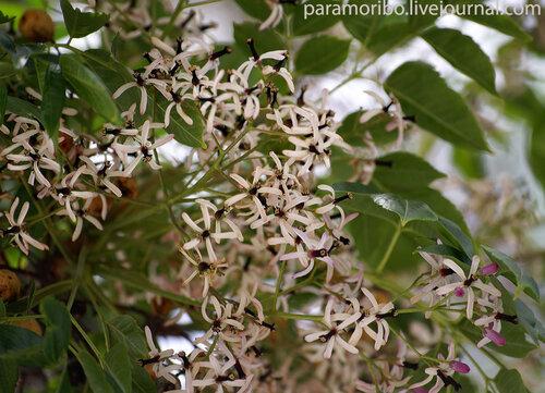 МЕЛИЯ АЗЕДАРАХ (Melia azedarach)/Meliaceae-Sapindales - сем.мелиевые, порядок сапиндовые