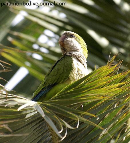 ПОПУГАЙ-МОНАХ (Myiopsitta monachus)/клинохвостые попугаи/в парке Гуэль/Monk parakeet - Parc Guell Barcelona/