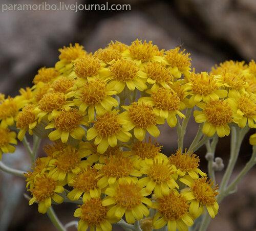 Крестовник двуцветный - (Senecio bicolor)-сложноцветные - Asteraceae