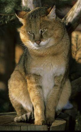 Кот камышовый (Felix Chaus)