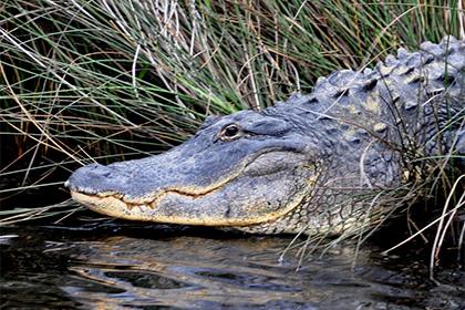 В Соединенных Штатах пойман самый большой аллигатор в мире