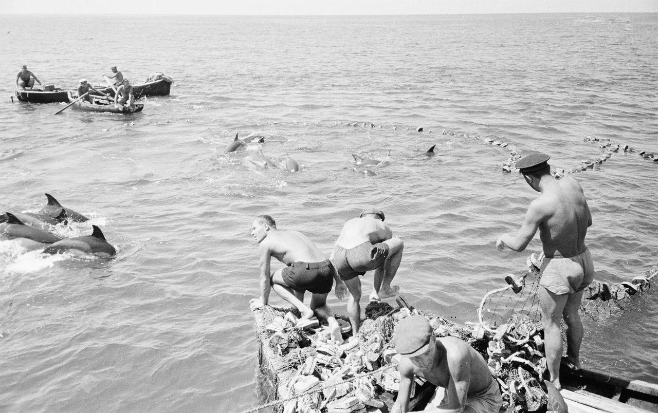 Ловля дельфинов в Туапсе в 1947 году