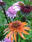 Echinacea Secret Lust и Echinacea Fatal Attraction.JPG