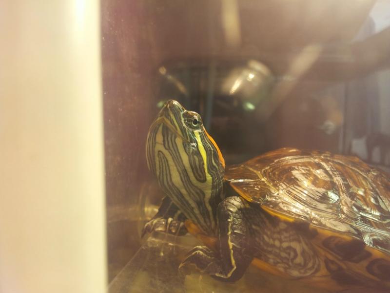 Черепаха красноухая всплывает