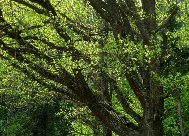 Старый дуб в Поседкино