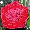 Красная роза. Фотограф: Апарышев Валерий.