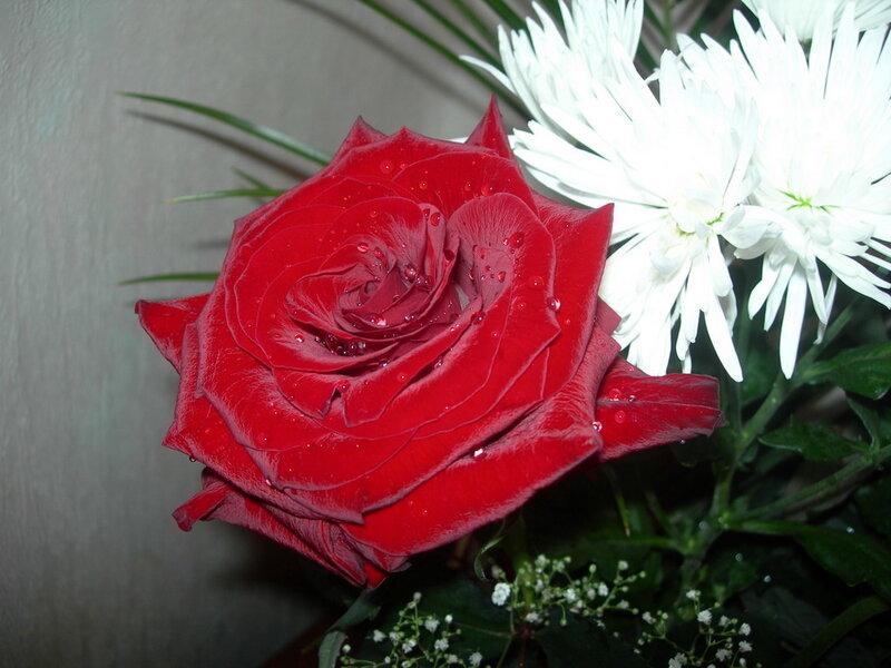 Фотография : Роза и хризантема, фотограф Апарышев, день рождения, поздравление, цветок, цветы, юбилей, фотография, фото, flows, фотки.