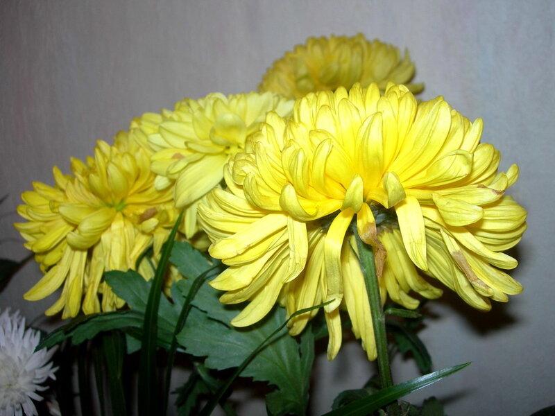 Фотография : Желтые хризантемы, фотограф Апарышев, день рождения, поздравление, цветок, цветы, юбилей, фотография, фото, flows, фотки.