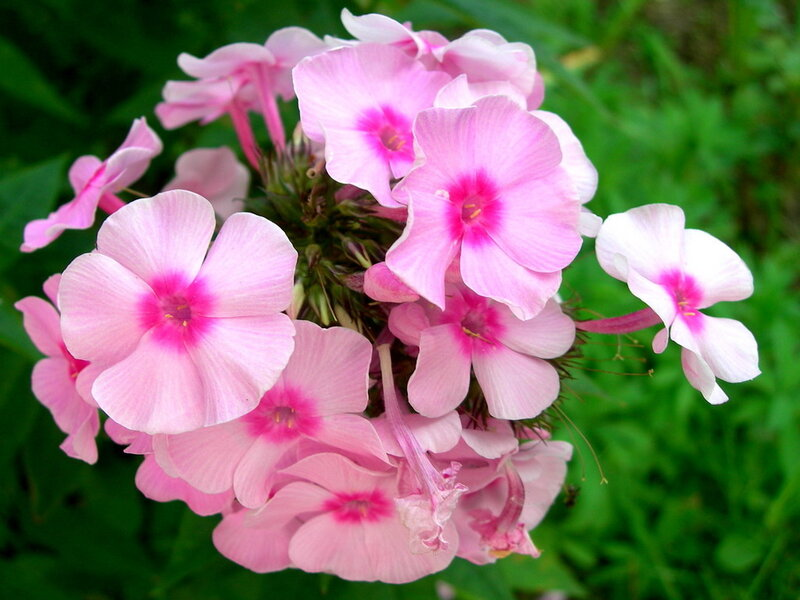 Фотография : Розовые цветы, фотограф Апарышев, день рождения, поздравление, цветок, цветы, юбилей, фотография, фото, flows, фотки.
