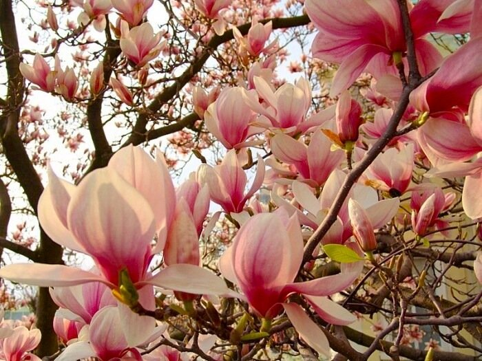 sakhalinka1 Весенняя Магнолия цветы.