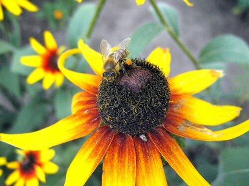 Пчела на рудбекии