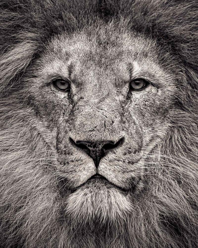 6. В 2002—2004 годах численность львов оценивалась в 16—47 тысяч особей, в то время как в 1970