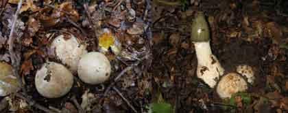 Лечебная настойка из гриба весёлка