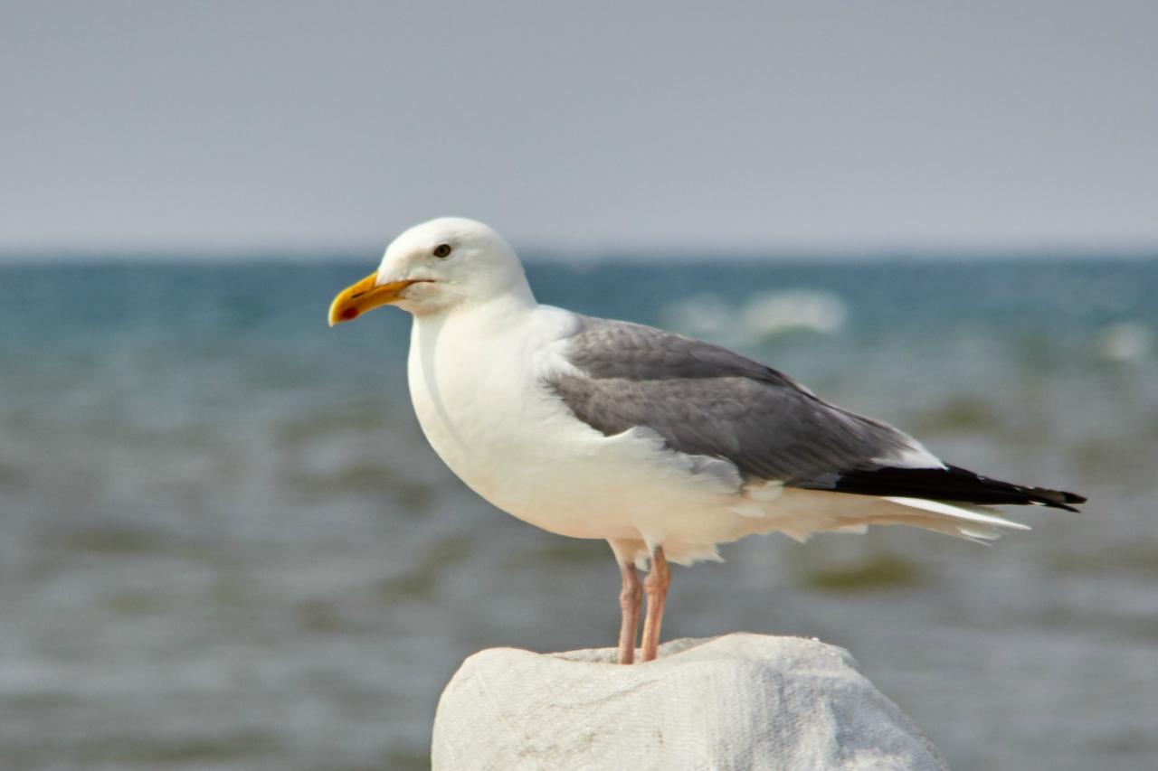 птичка мартын картинки известен первую