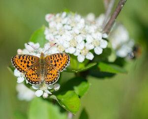 s:бабочки,s:дневные бабочки,c:оранжевые,c:с темными пятнами
