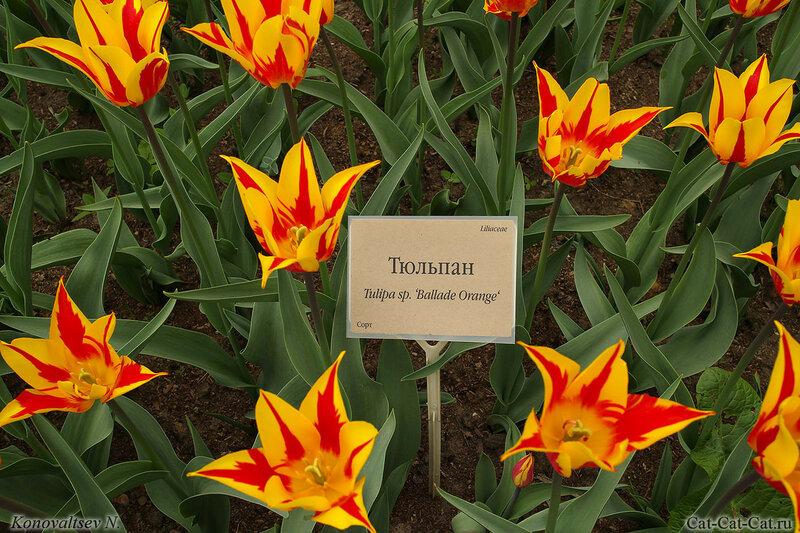 Тюльпан Ballade Orange