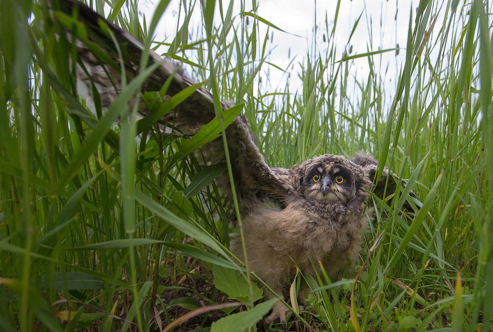 познавательно птицы самый большой 2000 год сова совы Первый