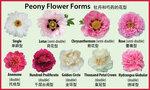 Пион форма цветка