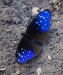 Лаос Бабочка 1 - Euploea mulciber (самец)