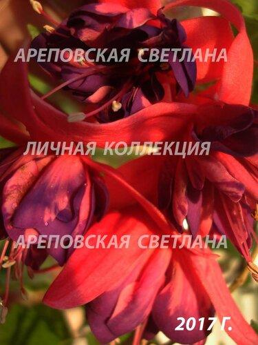 НОВИНКИ ФУКСИЙ. - Страница 5 0_1997de_96254735_L