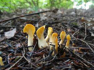 Спатулярия желтоватая (Spathularia flavida)