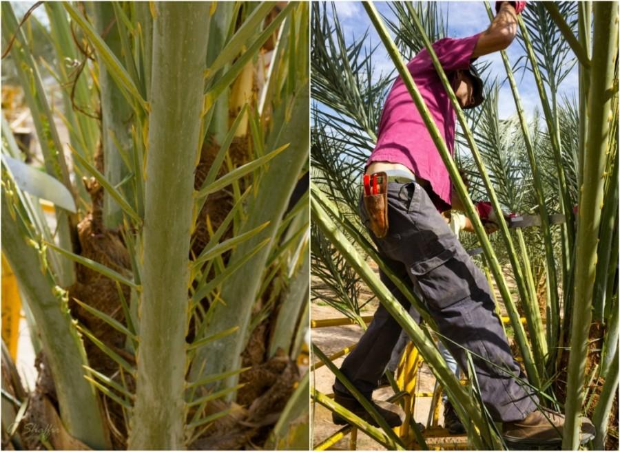 2. В эти дни заканчивается цикл работ по удалению шипов. На черенке пальмовой ветви, достигающей 3х
