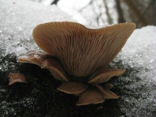 Вешенка поздняя (Panellus serotinus). Большинство грибов были уже старенькие, но некотрые выглядели вполне съедобно Автор фото: Станислав Кривошеев