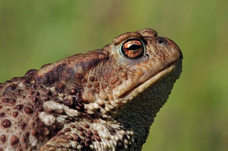 Портрет в профиль надменной жабы: толстая жаба с пупырчатой кожей с бородавками - обыкновенная жаба, она же жаба серая, она же коровница (лат. Bufo bufo)