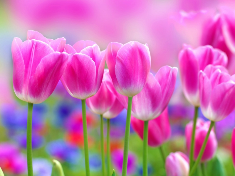 cvety-tyulpan-rozovye-tyulpany.jpg