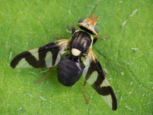 Альбом:  Мир под ногами/  Двукрылые - Diptera / Tephritidae - Пестрокрылки Автор фото: Владимир Брюхов