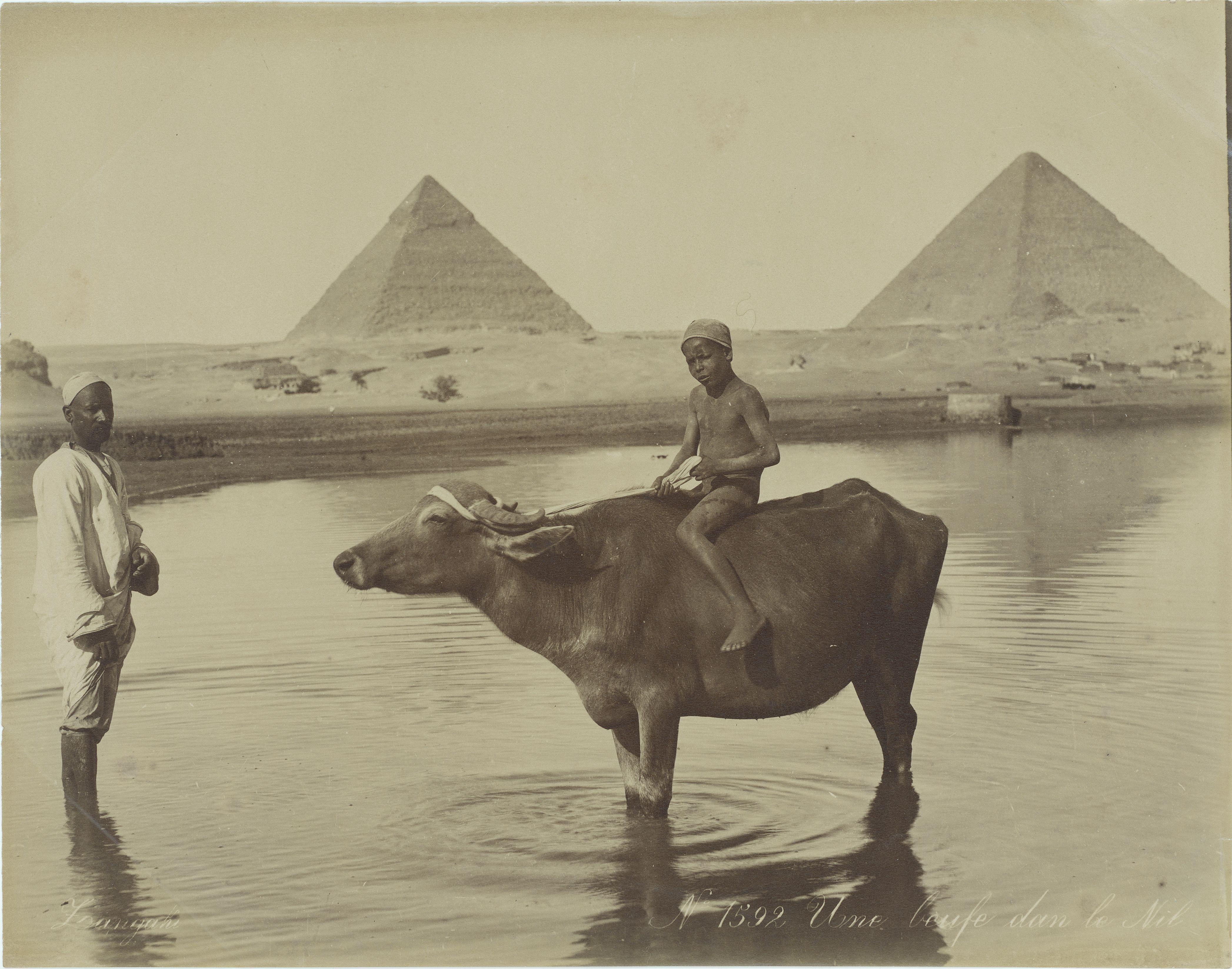 Гиза. Корова в Ниле