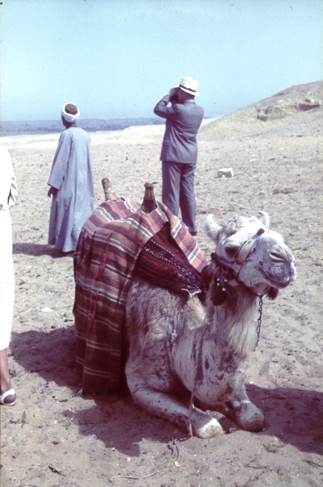 Верблюд с погонщиком и туристом