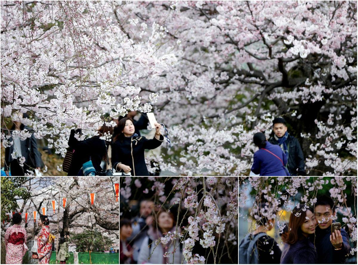 Пришла весна: в Токио зацвела сакура