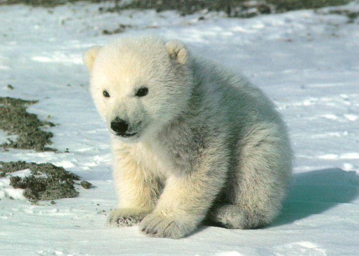 Международный день полярного медведя. Медвежонок