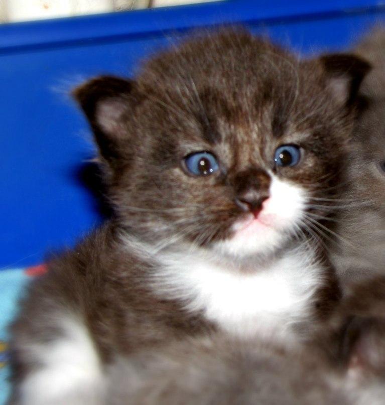 Они взяли крошечного котенка мейн-куна — полюбуйтесь, каким он стал через год! (7 фото)