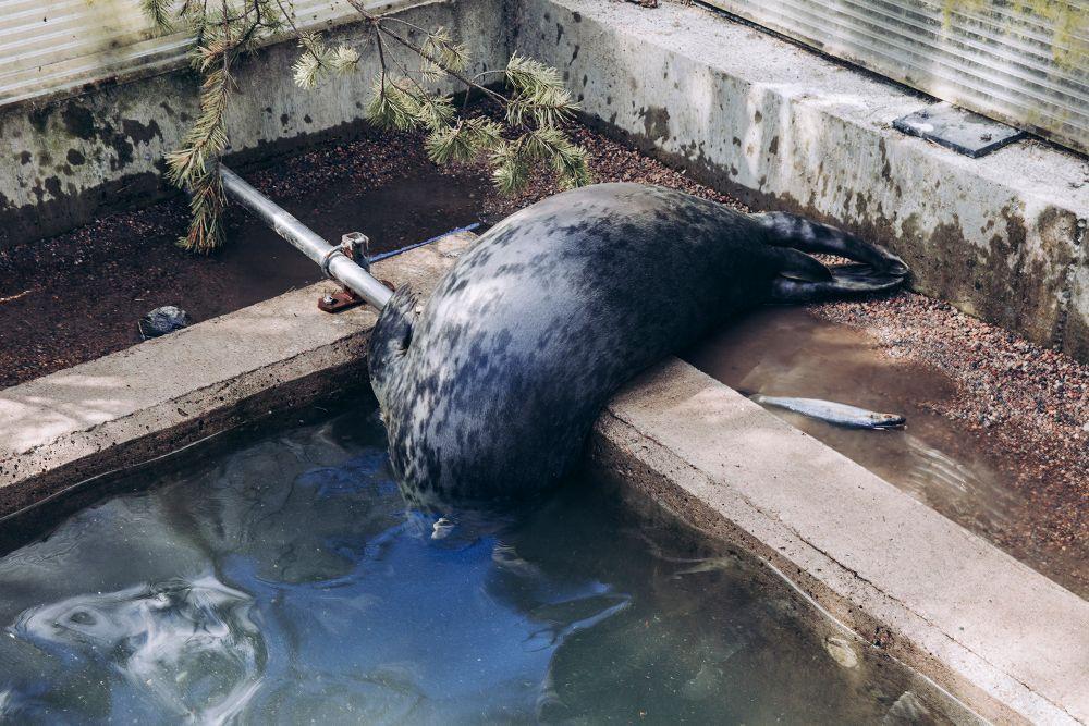 Почему финнов тянет заводить домашних лосей