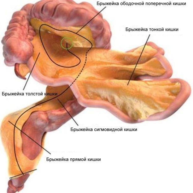 В человеческом теле нашли новый орган