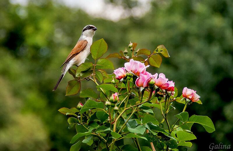 Жулан и розы